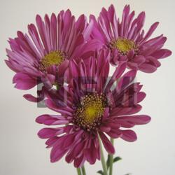 Chrysanthemum pink cushion mightylinksfo